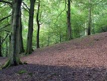 Göra klar i en backebokträdskog i försommar arkivfoto