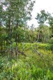 Göra klar i en skog med högväxt gräs och magra träd Arkivbild