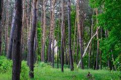 Göra klar i pinjeskogen Arkivbild