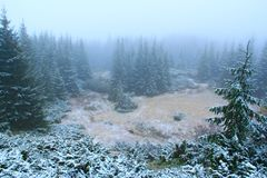 Göra klar i skog med granar efter det första insnöade året Glänta bland prydligt trä Fotografering för Bildbyråer