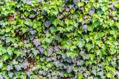 Göra perfekt den gröna väggen för bladbakgrundsvegetation med orange rött Arkivbild