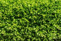 Göra perfekt upp det gröna slutet för väggen för bladbakgrundsvegetation Royaltyfria Foton