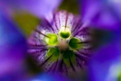 göra sammandrag blommamakrovioleten Fotografering för Bildbyråer