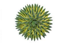 Göra till drottning Agave för Victoria ` s, Mexico som kaktuns som in växer, vaggar säng Arkivbild