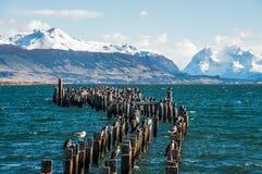 Göra till kung den Cormorant kolonin, Puerto Natales, Chile royaltyfri bild