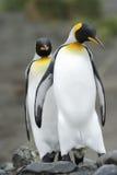 Göra till kung det Penguin (Aptenodytespatagonicus) anseendet på stranden Arkivbilder