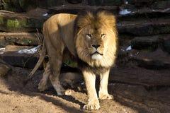 göra till kung lionen Arkivbild