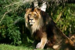 göra till kung lionen Arkivfoton