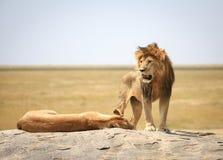 göra till kung lionen Arkivfoto