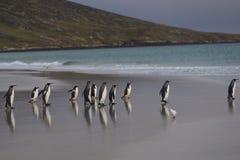 Göra till kung Penguins som heading till havet på den Saunders ön Royaltyfri Fotografi