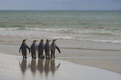 Göra till kung Penguins som heading till havet på den Saunders ön Royaltyfri Bild