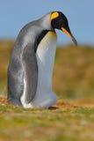 göra till kung pingvinet arkivfoton