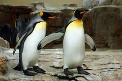 Göra till kung pingvinet (Aptenodytespatagonicusen) Royaltyfri Bild