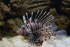 görad randig fiskporcupine Arkivbild
