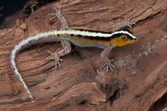 görad randig gecko Arkivbild