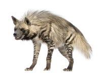 görad randig hyaenahyena royaltyfria foton