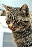 görad randig katt Arkivbilder