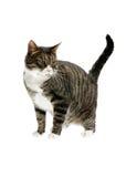 görad randig katt Royaltyfria Foton