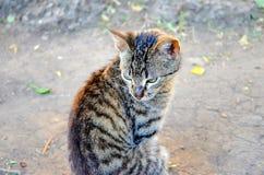 görad randig katt Royaltyfri Bild