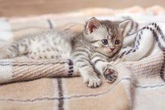 görad randig kattgray fotografering för bildbyråer