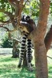görad randig lemur Fotografering för Bildbyråer