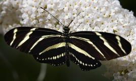 görad randig longwing för fjäril Arkivfoto