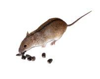 görad randig mus för agrariusapodemusfält Arkivfoton