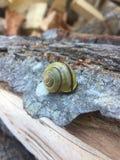 görad randig snail royaltyfria bilder