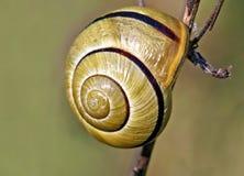 görad randig snail Arkivbild