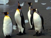 görar till kung pingvin Arkivfoton