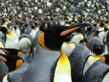 görar till kung pingvin Royaltyfria Bilder