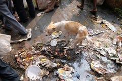 görar till tiggare kolkatagator Hund i avfallhög i Kolkata royaltyfri foto