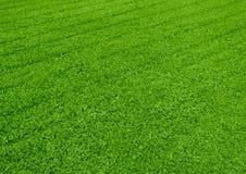 görat randig gräs Arkivbilder