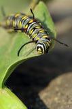 gąsienica zdjęcie stock