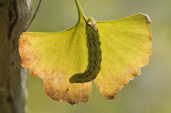 Gąsienica w liściu Obraz Royalty Free