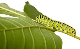 gąsienicowego liść boczny widok Fotografia Royalty Free