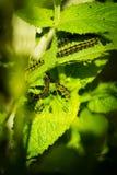 Gąsienicowy łasowanie na pokrzywie Obrazy Royalty Free