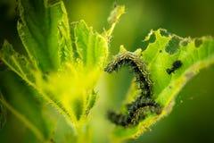Gąsienicowy łasowanie na pokrzywie Obraz Stock