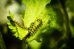 Gąsienicowy łasowanie na pokrzywie Zdjęcie Royalty Free