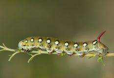 gąsienicowy gallii jastrzębia hyles ćma Obrazy Stock