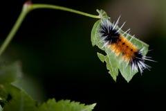 gąsienicowy liść Zdjęcie Royalty Free