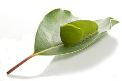 gąsienicowy liść Obraz Royalty Free