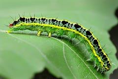 gąsienicowy liść Fotografia Stock