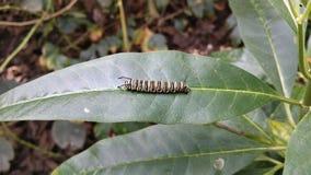 Gąsienicowy liść HD Fotografia Royalty Free