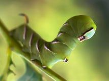 Gąsienicowy motyl znać jako ligustrowy jastrzębia ćma Zdjęcia Royalty Free