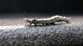 gąsienicowy pełzający kosmaty Zdjęcie Stock