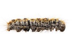 Gąsienicowy Sosnowy Processionary gatunku Thaumetopoea pityocampa Fotografia Royalty Free