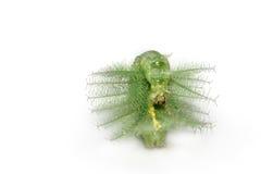 Gąsienicowy stawia czoło mangowy baron motyl Obrazy Stock