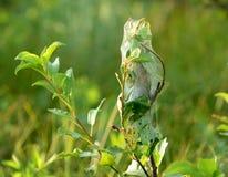 gąsienicy gniazdują jedwabniczą namiotową sieć zdjęcie royalty free