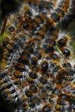 gąsienicy namiotowe Obrazy Stock
